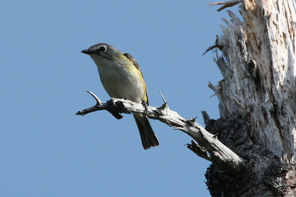 """A Blue-headed Vireo comes in to check us out.  This species in a common breeder in forested parts of Nova Scotia. <div id=""""caption_tourlink"""" align=""""right""""><br>[photo © Chris Benesh]</div>"""