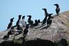 "Another common breeder on Gull Island is the dapper Razorbill. <div id=""caption_tourlink"" align=""right""><br>[photo © Chris Benesh]</div>"