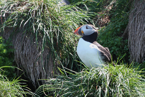 "An Atlantic Puffin stands sentry outside its burrow at Gull Island, Witless Bay, a short drive south of St. John's.  Many thousands of puffins, plus myriad other seabirds, make this their summer home. <div id=""caption_tourlink"" align=""right""><br>[photo © Chris Benesh]</div>"