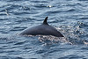 """A Minke Whale surfaces silently nearby on our boat trip out on Witness Bay.  Like other cetaceans, Minkes are attracted to the capelin runs. <div id=""""caption_tourlink"""" align=""""right""""><br>[photo © Chris Benesh]</div>"""