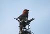 "Nova Scotia and Newfoundland offer good chances to track down Pine Grosbeak, a plump, small-billed finch. <div id=""caption_tourlink"" align=""right""><br>[photo © Chris Benesh]</div>"