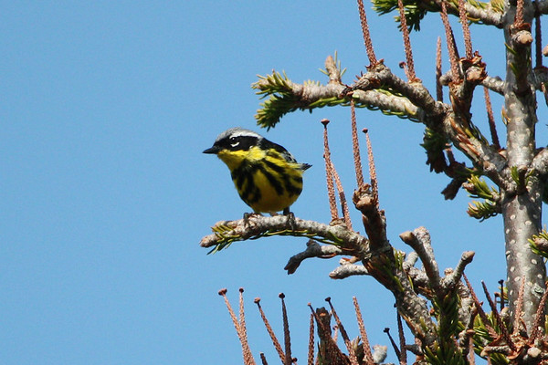 """Another of the stunning warblers to be found in Nova Scotia is this Magnolia Warbler. <div id=""""caption_tourlink"""" align=""""right""""><br>[photo © Chris Benesh]</div>"""