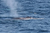 """Second in size only to the Blue Whale, this Fin Whale surfaces close to shore at Cape Spear. Three of these magnificent animals are feeding together on Capelin. Notice the distinctive white right lower jaw of this animal. <div id=""""caption_tourlink"""" align=""""right""""><br>[photo © Chris Benesh]</div>"""