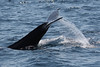 """An expressive Humpback Whale lob-tails for us on our Witless Bay boat trip. <div id=""""caption_tourlink"""" align=""""right""""><br>[photo © Chris Benesh]</div>"""