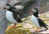 "Atlantic Puffins<div id=""caption_tourlink"" align=""right""> [photo © participant Charles Oldham]</div>"
