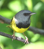 "Mourning Warbler <div id=""caption_tourlink"" align=""right""> [photo © guide Chris Benesh]</div>"