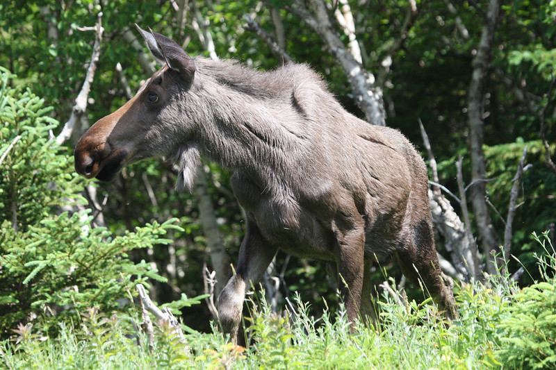 "This attractive moose was one of several seen in Newfoundland and Nova Scotia.  This one is in Cape Breton Highlands National Park.  <div id=""caption_tourlink"" align=""right""> [photo © guide Chris Benesh]</div>"