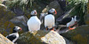 "Atlantic Puffins  <div id=""caption_tourlink"" align=""right""> [photo © guide Chris Benesh]</div>"
