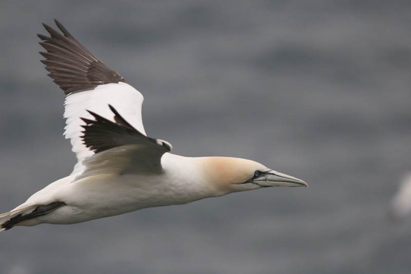 "Northern Gannet<div id=""caption_tourlink"" align=""right""> [photo © participant Charles Oldham]</div>"