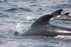 "Longfin Pilot Whales<div id=""caption_tourlink"" align=""right""> [photo © participant Charles Oldham]</div>"