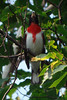 "Rose-breasted Grosbeak<div id=""caption_tourlink"" align=""right""> [photo © participant Diana Bradshaw]</div>"