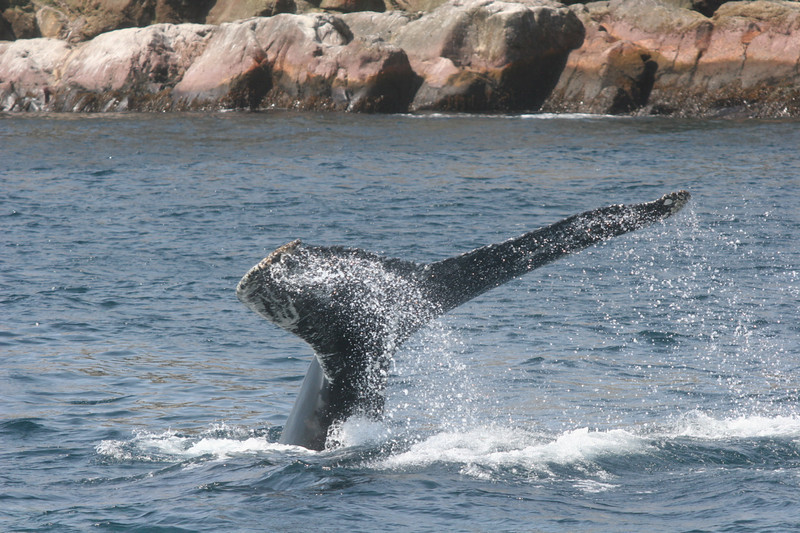 "Humpback Whale<div id=""caption_tourlink"" align=""right""> [photo © participant Charles Oldham]</div>"