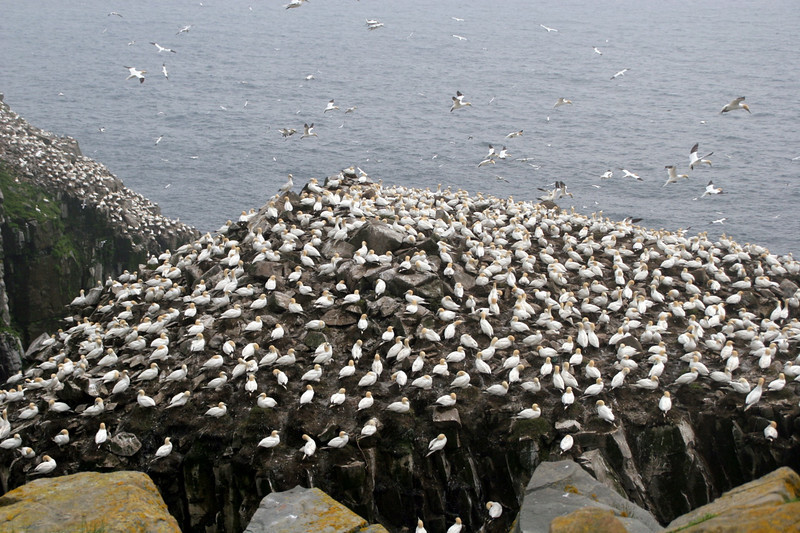 "Northern Gannet colony at Cape St. Mary's<div id=""caption_tourlink"" align=""right""> [photo © participant Charles Oldham]</div>"