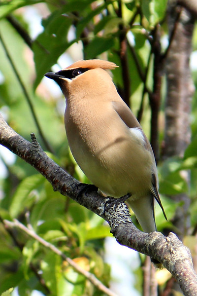 The silky-smooth plumage of the Cedar Waxwing always makes for such a slick-looking bird! One can never tire of their elegance. (Photo by guide Lena Senko)