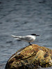 This Sandwich Tern that we found at Renews took us all by complete surprise! This sighting was only the 5th record ever for Newfoundland. It is quite the exceptional rarity, especially since the bird's field marks (thin, long, and drooping bill as well as the hook-shaped primary tips) suggest that this individual may be a vagrant from the Old World rather than from North America. An exciting possibility, though more scrutiny is needed to nail down this bird's origin for certain. (Photo by guide Lena Senko)