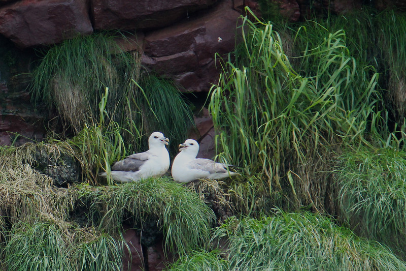 "A couple of Northern Fulmars perch on their nest in Witless Bay. Though they are similar in appearance to gulls, these fulmars are members of the family Procellariidae, which includes petrels and shearwaters. All members of the ""tubenose"" order have an enlarged nasal gland at the base of the bill, which allows them to excrete excess salt from the seawater they drink. (Photo by guide Lena Senko)"
