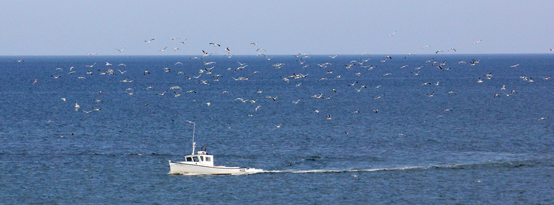 A plethora of gulls (predominantly Herring and Great Black-backed, with a few Ring-billeds) follow a small boat in hopes of a meal. (Photo by guide Lena Senko)