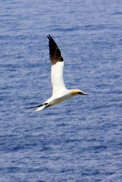 Gannets do look ever so elegant in flight! (Photo by guide Lena Senko)