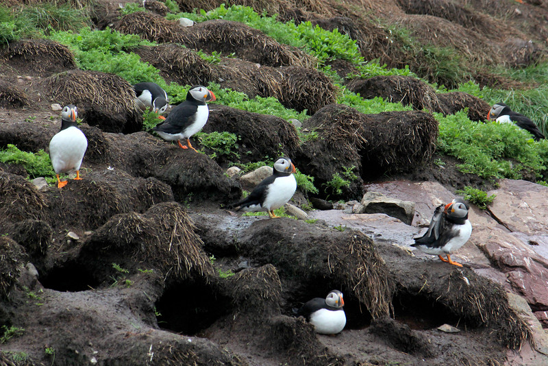 "A group of puffins has many potential collective nouns, including a ""burrow,"" ""circus,"" ""colony,"" and ""puffinry"" of puffins. A ""circus"" seems particularly fitting for these comical, clown-like creatures!  (Photo by guide Lena Senko)"