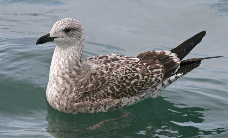 "A young Lesser Black-backed Gull. Part of this tour is going to be learning about and focusing on the marine birds of the region. How to identify this gull will not be such a mystery after this trip.<div id=""caption_tourlink"" align=""right""> [photo © guide George Armistead]</div>"