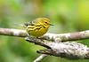 "Prairie Warbler <div id=""caption_tourlink"" align=""right""> [photo © guide George Armistead]</div>"