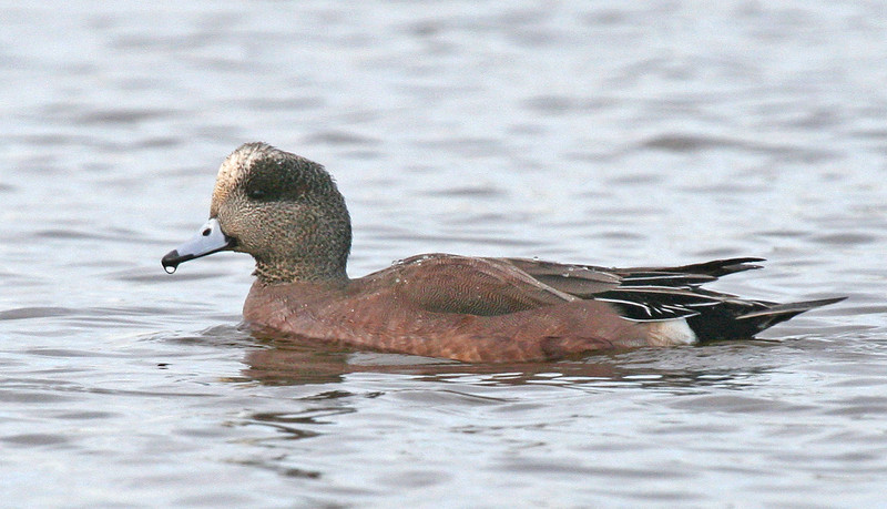 "American Wigeon<div id=""caption_tourlink"" align=""right""> [photo © guide George Armistead]</div>"