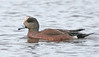 """American Wigeon<div id=""""caption_tourlink"""" align=""""right""""> [photo © guide George Armistead]</div>"""