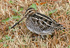 "Wilson's Snipe <div id=""caption_tourlink"" align=""right""> [photo © guide George Armistead]</div>"