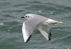"Bonaparte's Gull <div id=""caption_tourlink"" align=""right""> [photo © guide George Armistead]</div>"