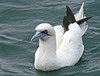 "Northern Gannet <div id=""caption_tourlink"" align=""right""> [photo © guide George Armistead]</div>"
