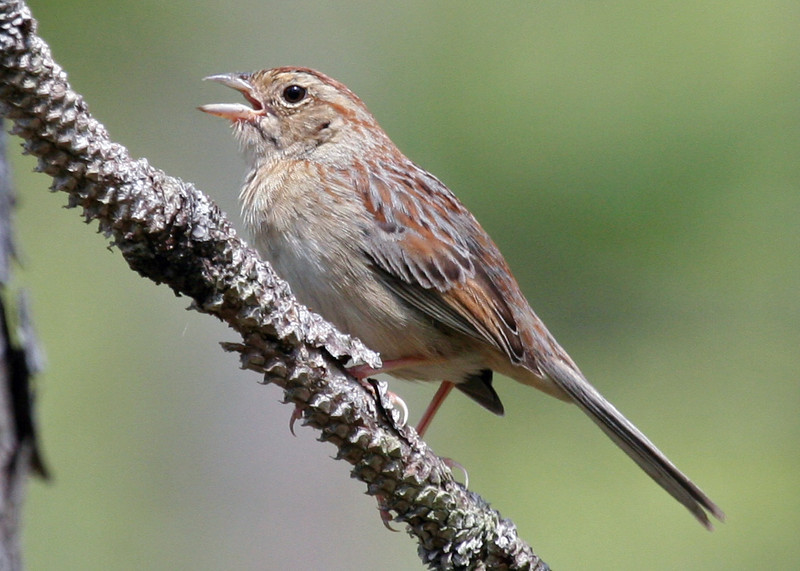 """Bachman's Sparrow, restricted to open pine forests of the southeast.  <div id=""""caption_tourlink"""" align=""""right""""> [photo © guide George Armistead]</div>"""