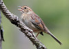 "Bachman's Sparrow, restricted to open pine forests of the southeast.  <div id=""caption_tourlink"" align=""right""> [photo © guide George Armistead]</div>"