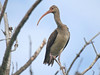 "An immature White Ibis <div id=""caption_tourlink"" align=""right""> [photo © guide George Armistead]</div>"