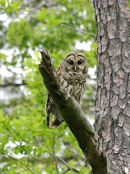 "Barred Owl <div id=""caption_tourlink"" align=""right""> [photo © guide George Armistead]</div>"