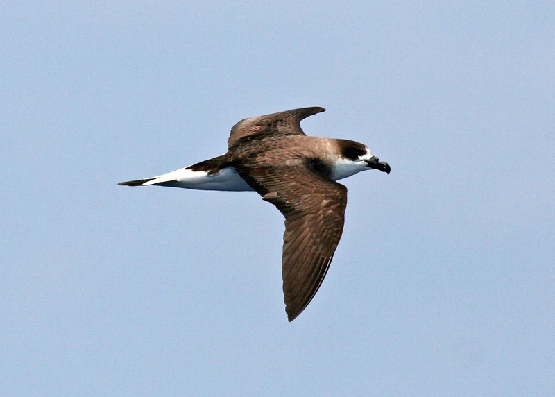 "Black-capped Petrel, a Gulf Stream specialty <div id=""caption_tourlink"" align=""right""> [photo © guide George Armistead]</div>"