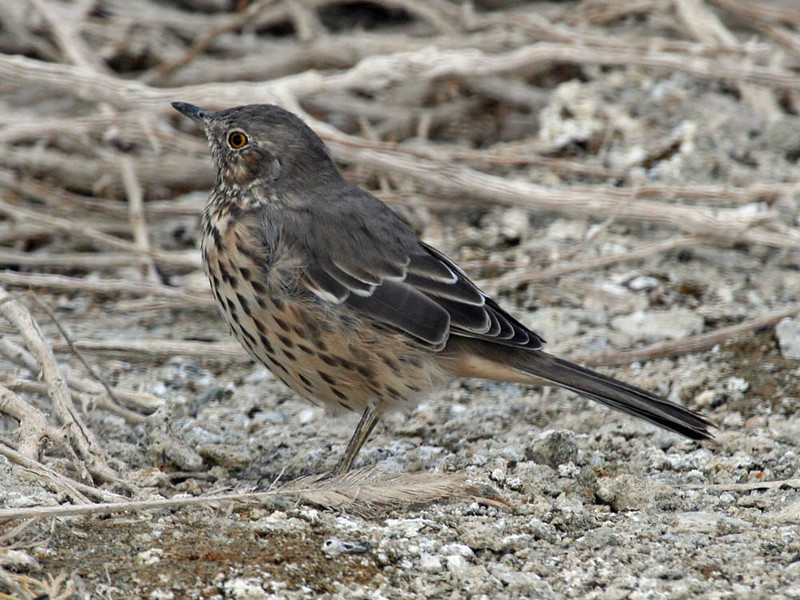 "The Sage Thrasher is a little bit of an oddball thrasher -- part mockingbird, part thrasher and all sage-loving. It is regularly found in the Mono Lake area. <div id=""caption_tourlink"" align=""right""> [photo © guide Alvaro Jaramillo]</div>"