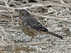 """The Sage Thrasher is a little bit of an oddball thrasher -- part mockingbird, part thrasher and all sage-loving. It is regularly found in the Mono Lake area. <div id=""""caption_tourlink"""" align=""""right""""> [photo © guide Alvaro Jaramillo]</div>"""