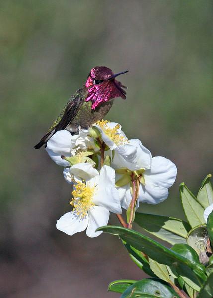 "Anna's Hummingbird <div id=""caption_tourlink"" align=""right""> [photo © guide Alvaro Jaramillo]</div>"