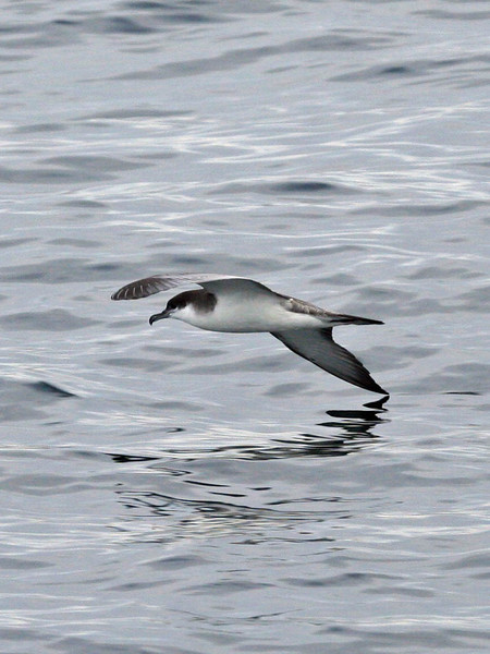 "September is a good time to see the prettiest of all California seabirds, the Buller's Shearwater, before the species continues on its way to New Zealand breeding grounds. <div id=""caption_tourlink"" align=""right""> [photo © guide Alvaro Jaramillo]</div>"