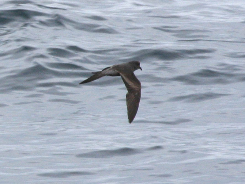 "If we're lucky on our pelagic trip we'll find rafts of post-breeding storm-petrels. One species that congregates here is the Ashy Storm-Petrel, nearly a California endemic and in worldwide terms quite a rare seabird. <div id=""caption_tourlink"" align=""right""> [photo © guide Alvaro Jaramillo]</div>"