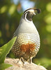 "California Quail  <div id=""caption_tourlink"" align=""right""> [photo © guide Jay VanderGaast]</div>"