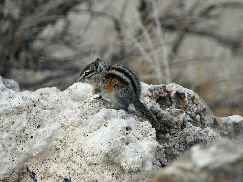 "There are plenty of mammals we see on this trip, this being one of the smaller ones, the Least Chipmunk. California has a great diversity of chipmunks, something that always surprises eastern birders who have but one chipmunk identification to contend with! <div id=""caption_tourlink"" align=""right""> [photo © guide Alvaro Jaramillo]</div>"