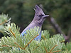 """Anywhere in the state, coast or mountains, where there are conifers you can find the adaptable Steller's Jay. In lowland scrubby zones, the Western Scrub Jay is expected instead. <div id=""""caption_tourlink"""" align=""""right""""> [photo © guide Alvaro Jaramillo]</div>"""