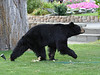 """Quite a huge surprise was this Black Bear found in Lee Vining, right in town! Amazing. <div id=""""caption_tourlink"""" align=""""right""""> [photo © guide Alvaro Jaramillo]</div>"""