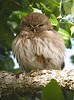"Ferruginous Pygmy-Owl <div id=""caption_tourlink"" align=""right"">[photo © guide Chris Benesh]</div>"