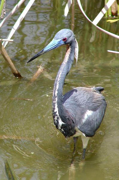 "Tricolored Heron <div id=""caption_tourlink"" align=""right"">[photo © participant Randal Whitman]</div>"