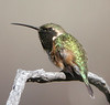 "Lucifer Hummingbird <div id=""caption_tourlink"" align=""right""> [photo © guide George Armistead]</div>"