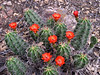 "Cactus in bloom <div id=""caption_tourlink"" align=""right""> [photo © guide Megan Crewe]</div>"