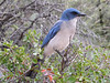 """Mexican Jay <div id=""""caption_tourlink"""" align=""""right""""> [photo © guide Megan Crewe]</div>"""