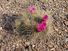 "A cactus at Big Bend <div id=""caption_tourlink"" align=""right""> [photo © guide Chris Benesh]</div>"
